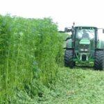 hemp cutting